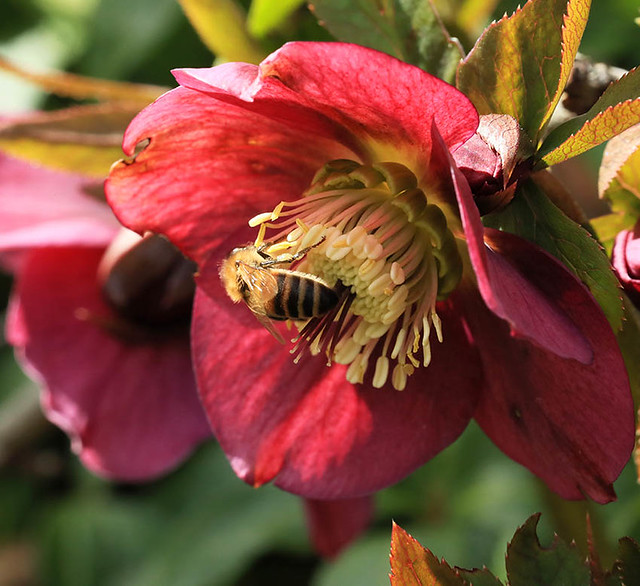 Helleborus in my garden