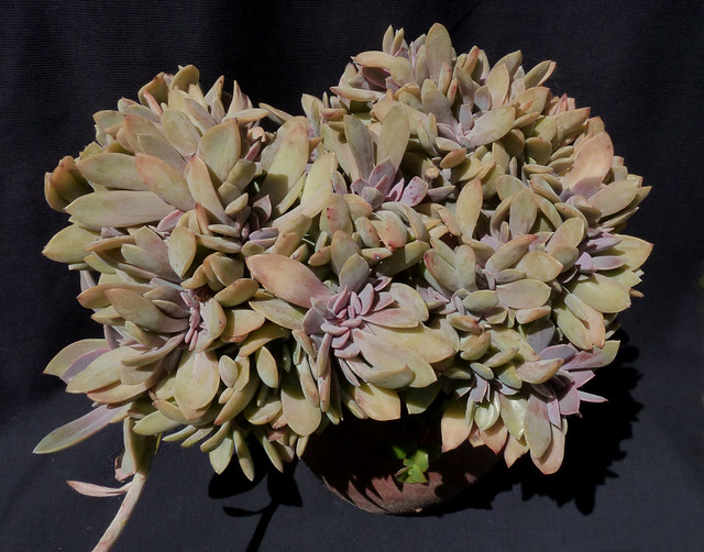 Graptoveria 'Fred Ives' cristata