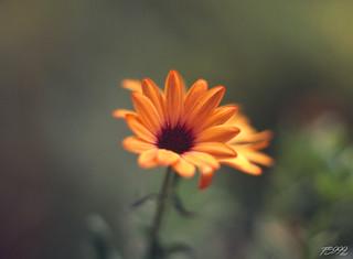 Orange Beauty | by fs999