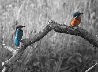 2013 06 21_Kingfisher b&w