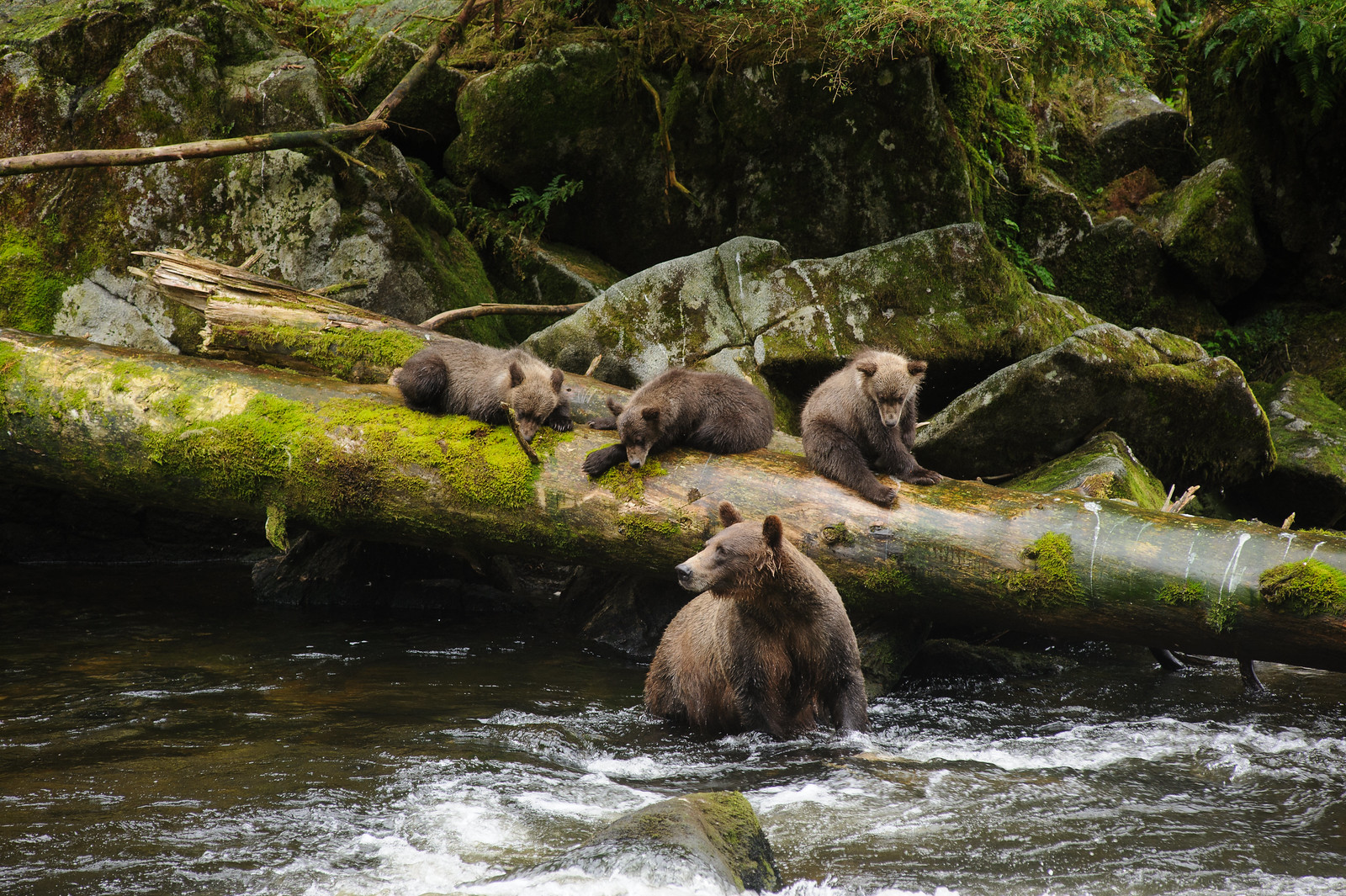 photo of bears in Tongass National Forest