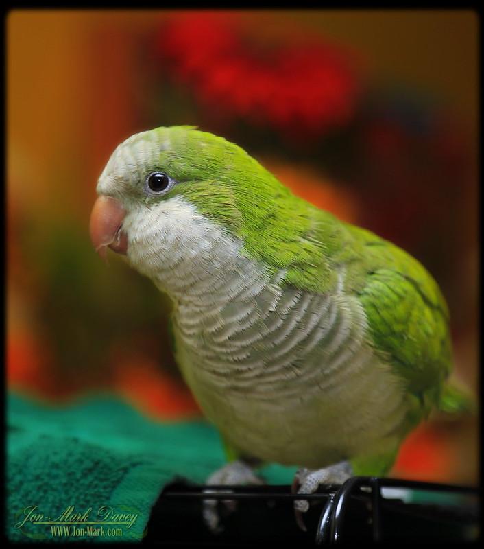 New Quaker Parrot
