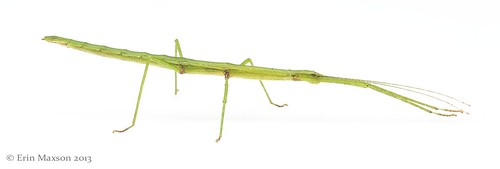 Belize stick insect