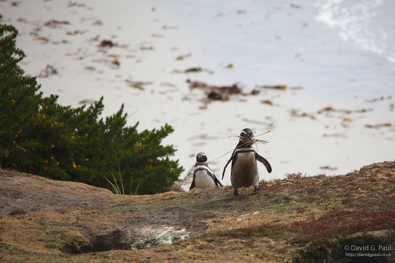 Magellanic Penguins building a nest