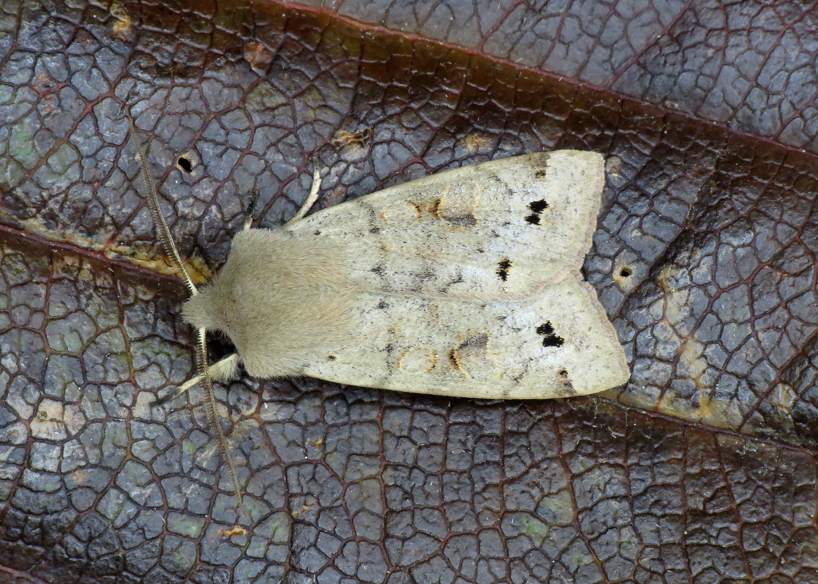 2189 Twin-spotted Quaker - Orthosia munda