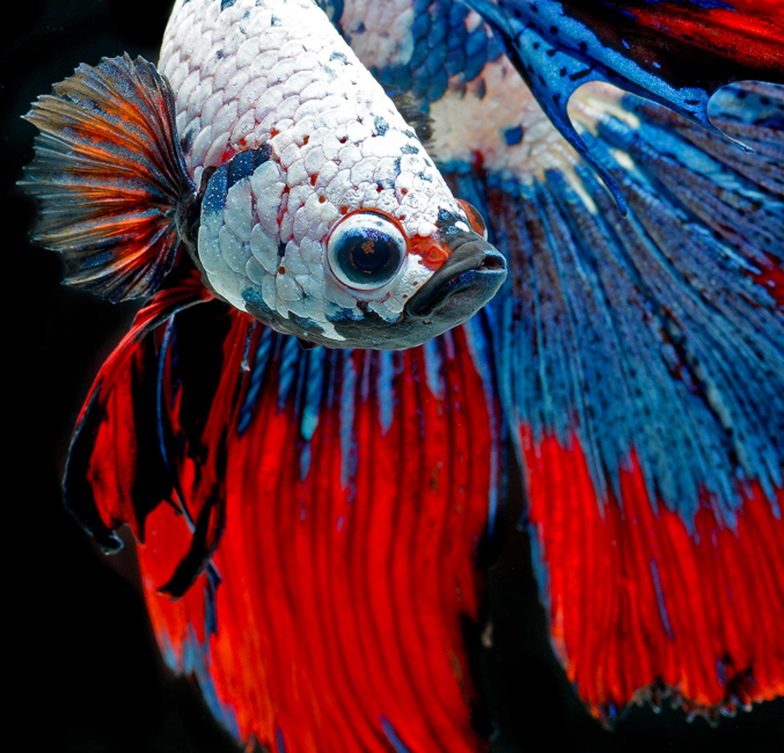 Betta Fish HD Wallpaper