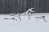 Landing of red-crowned cranes in snowfall by takashi muramatsu