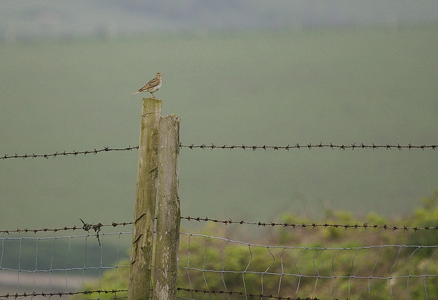 Skylark On A Post On The Sussex Downs