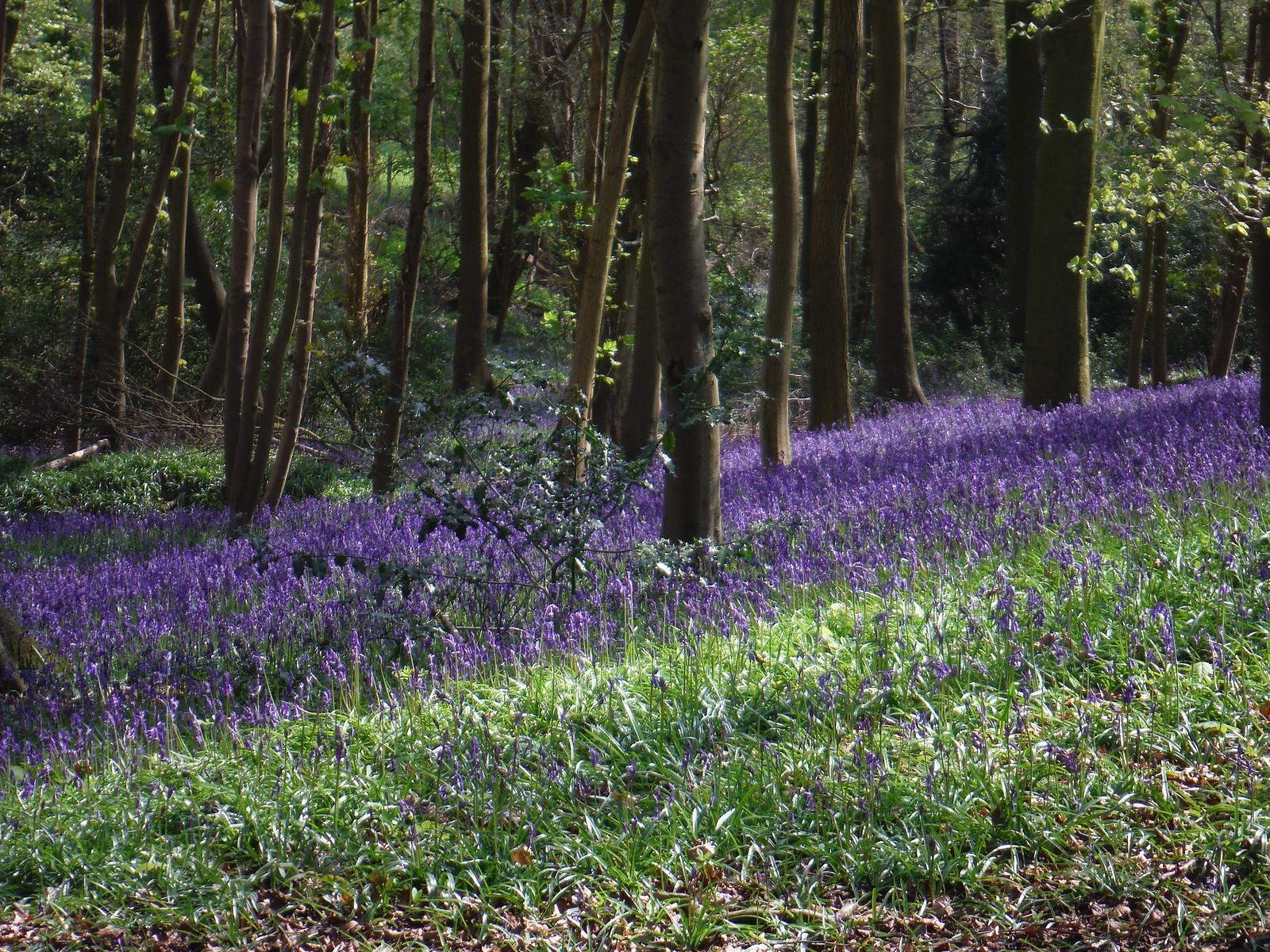 Bluebells in Bradenham Beeches SWC Walk 10 - Little Kimble to Saunderton