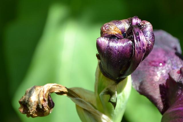 Iris 'Study in Black' - Gordon Plough 1967 8758446935_00ab5cbe70_z