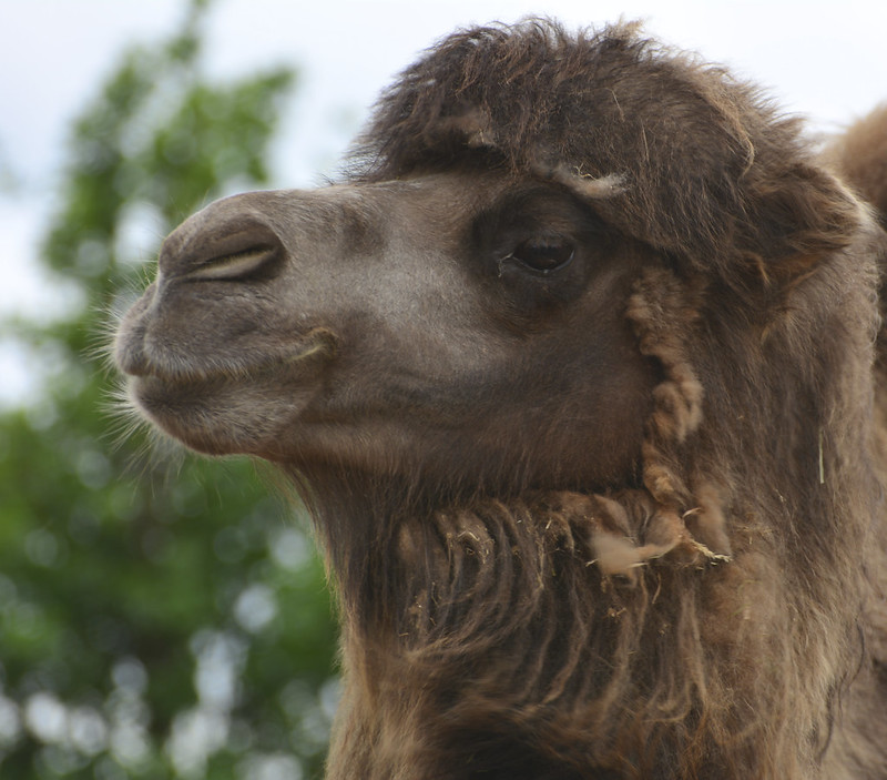 London Zoo, Camel