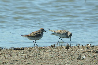 White-rumped Sandpipers | by Rob Fowler