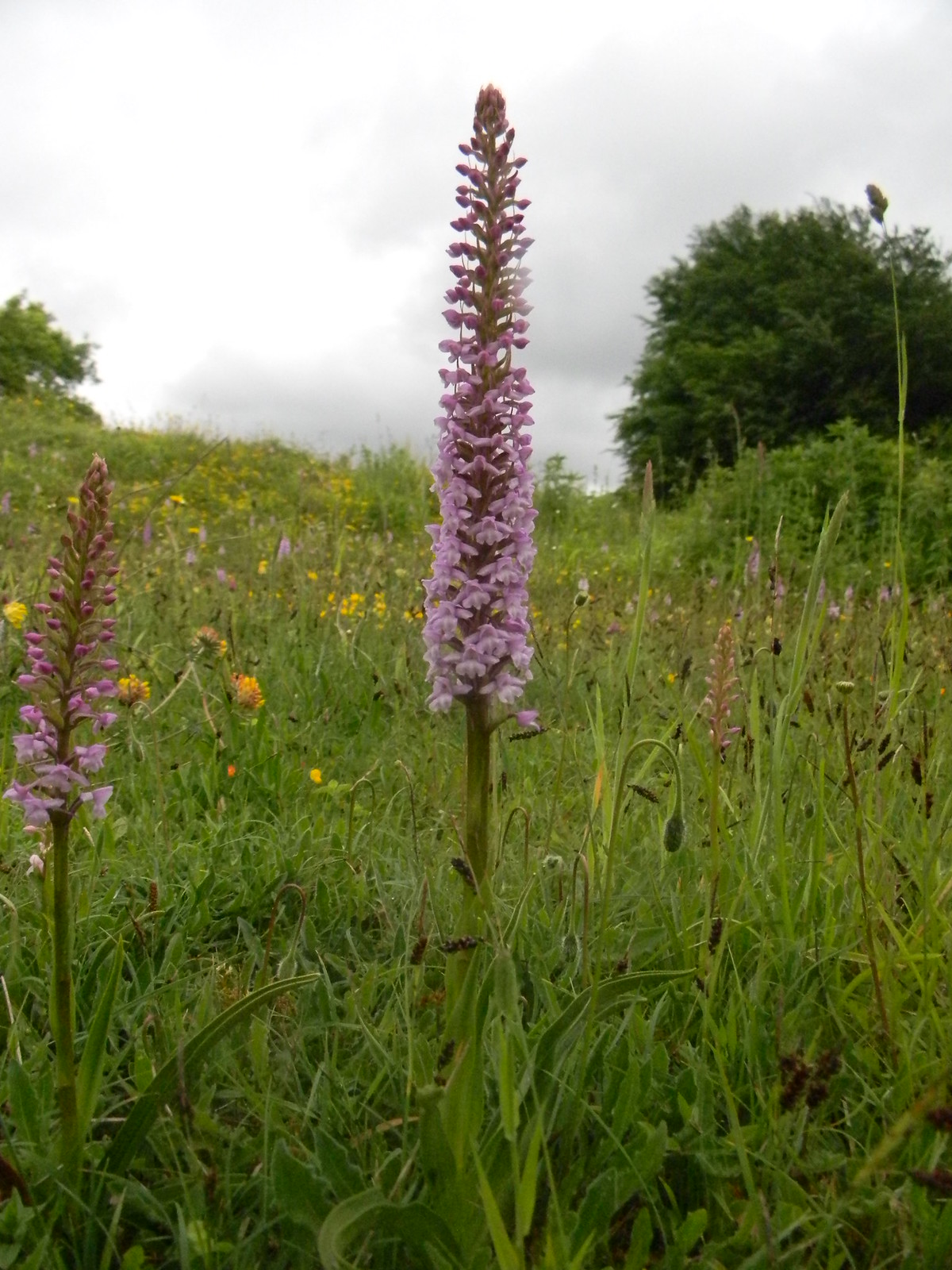 Orchids, Noar Hill Noar Hill NNR boasts 11 species of orchid. This is possibly a Common Fragrant. Petersfield to Selbourne
