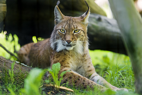 Siberian lynx on the grass | by Tambako the Jaguar