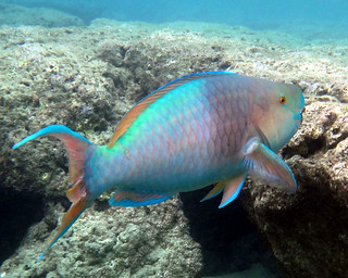Redlip Parrotfish | Various fish and other marine life ...