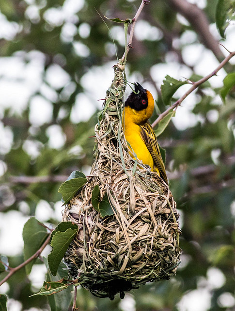 Southern masked weaver or African masked weaver  - Ploceus velatus - in Pilanesberg  South Africa