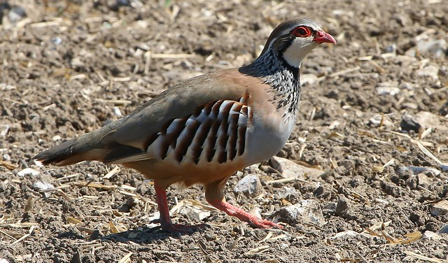 Red Legged Partridge 090417 (3)
