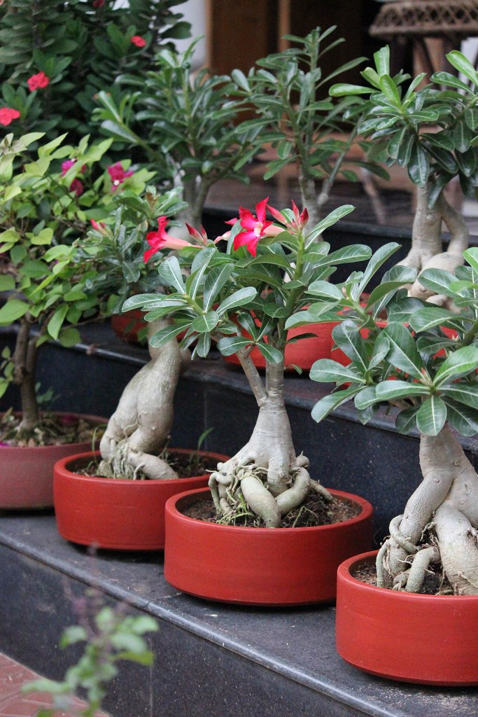 Different Adenium bonsais with flowers -