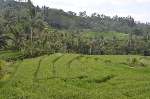Bali.Dans les rizières.06   by Antoine 49