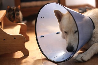 The cone of shame (Geisha no longer afraid of the big bad wolf!) | by Frontier Dreams