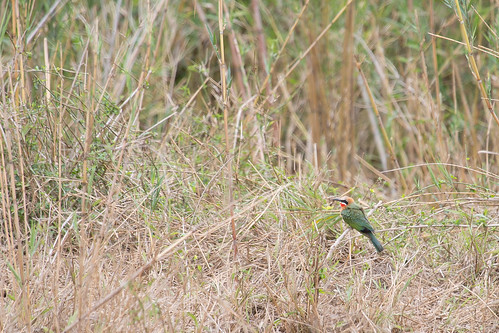 White-fronted Bee-eater (Merops bullockoides) | by jrothdog