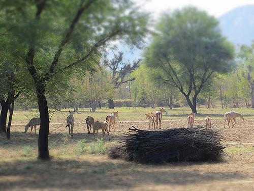Deer at Achrol Bagh