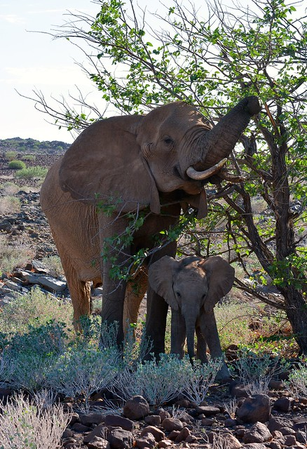 Desert adapted Elephants in southern Damaraland, Namibia.