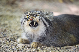 Pallas cat looking angry | by Tambako the Jaguar