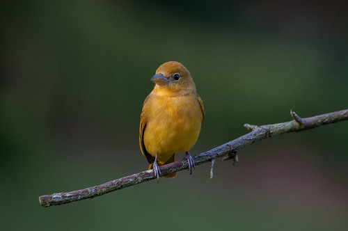 Piranga rubra female (Summer Tanager) | by Ernesto Uribe