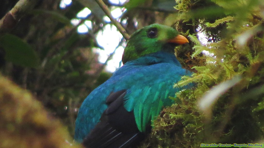 Golden-headed Quetzal, Pharomachrus auriceps.