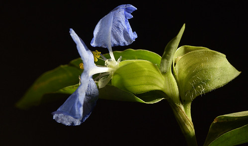 commelina commelinaceae weeds flower staminodes angiosperm floweringplsnts floweringplants angiospermae magnoliophyta