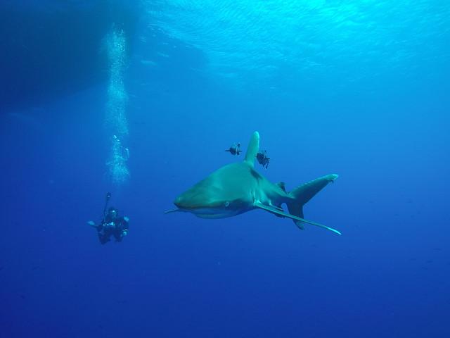 Longimanus at Daedalus Reef pt. II