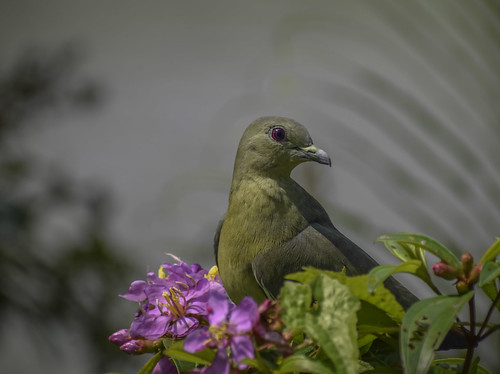 greenpigeon green pinkneckedgreenpigeon bird animal wildlife nature chinesegarden singapore animalplanet treronvernans