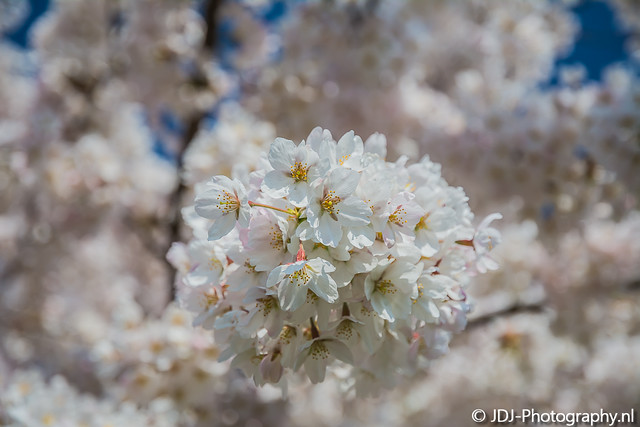 Cherry Blossom 2017, part 2