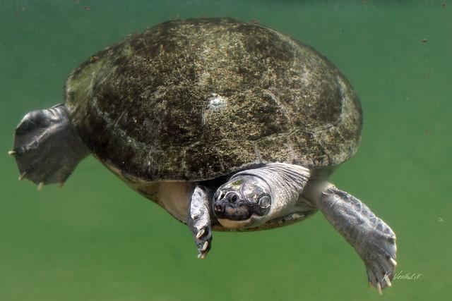Arrau turtle