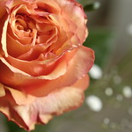 Rose(バラ)