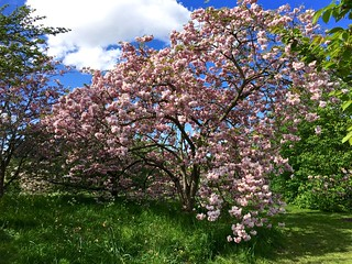 Kew Gardens cherry blossom | by Fran Pickering