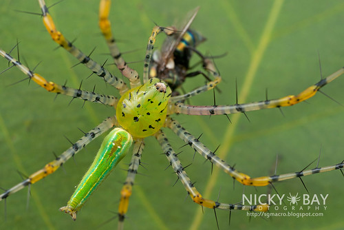 Green Lynx Spider (Peucetia sp.) - DSC_6249   by nickybay