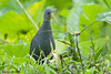 Blackish Rail - Pardirallus nigricans by arthurgrosset