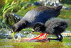 black crake and young (Amaurornis flavirostra) by tdwrsa