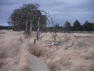 Boardwalk in Pudmore Pond Area, Thursley Common SWC Walk 144 Haslemere to Farnham - Thursley Common Extension (Pudmore Pond Extension-within-the-Extension)