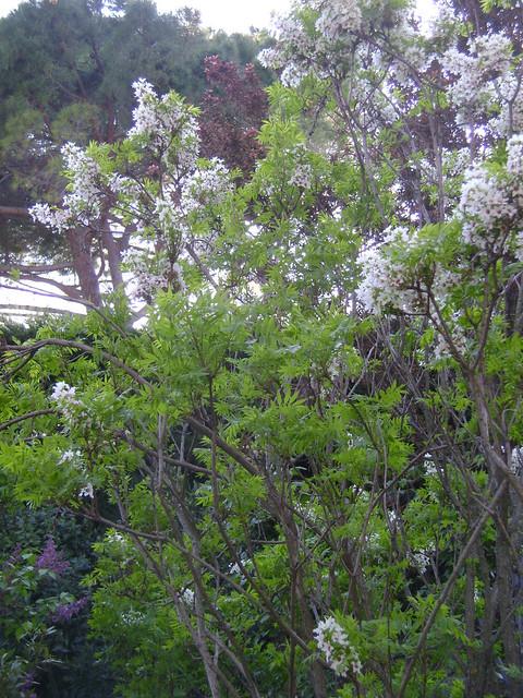 Xanthoceras sorbifolium 32524736583_b7feeb31f3_z
