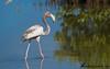 American Flamingo by Guillermo V Soto