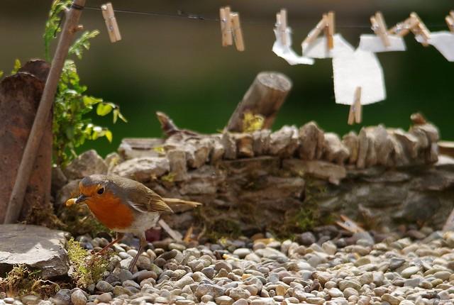 Robin dry stone wall  wash day (2)