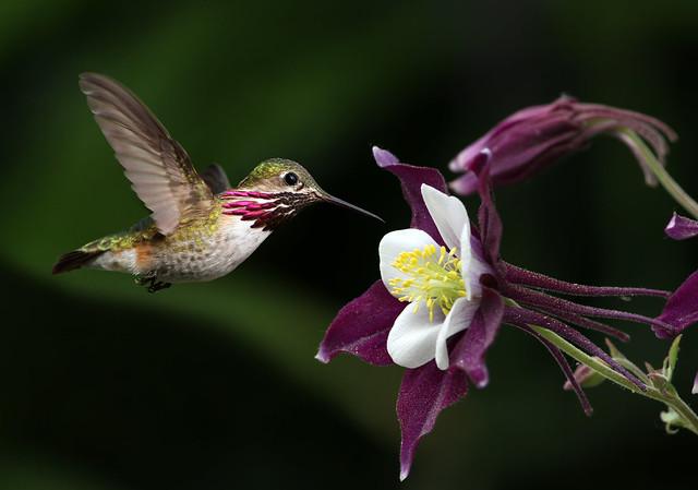 Calliope Hummingbird and Columbine Flower
