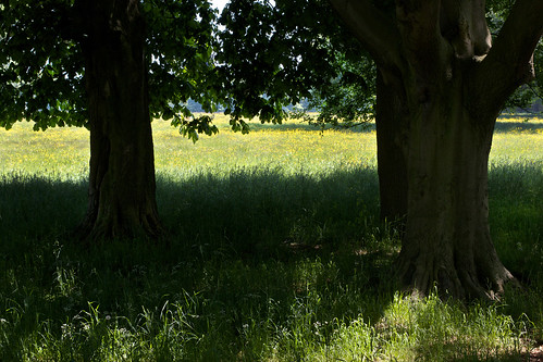 Buttercup meadow.   by Disjointed Reality