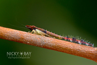 Leafhopper nymph (Hylicinae) - DSC_3302