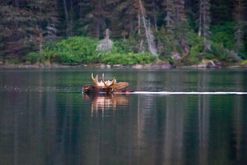 Moose | by Jeff Pang