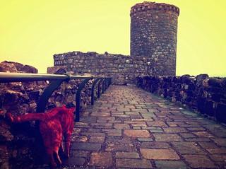 Ginger cat at Harlech Castle.