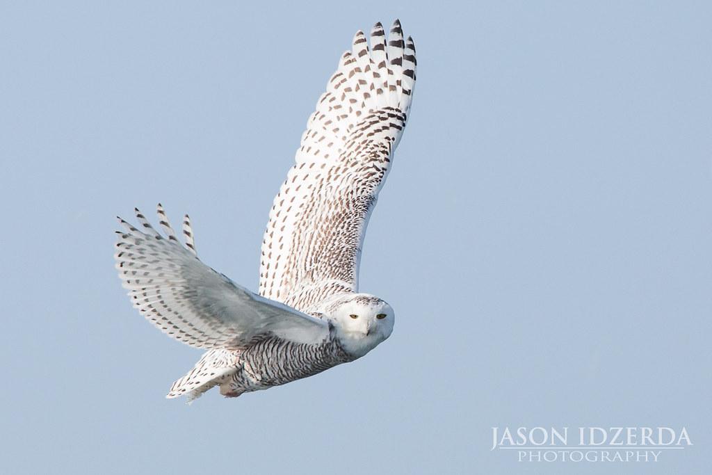 Snowy Owl In Flight An Owl Makes Flying Look Effortless
